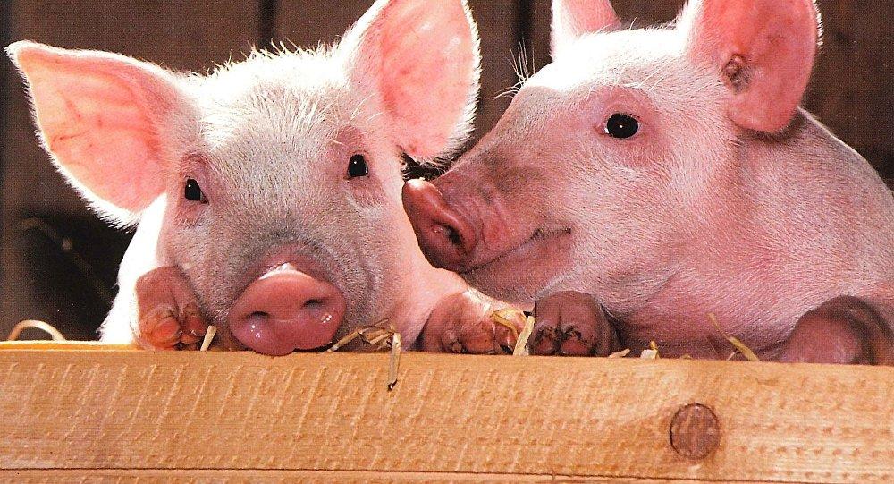 Virusul pestei porcine africane nu se confirmă în Mehedinți!