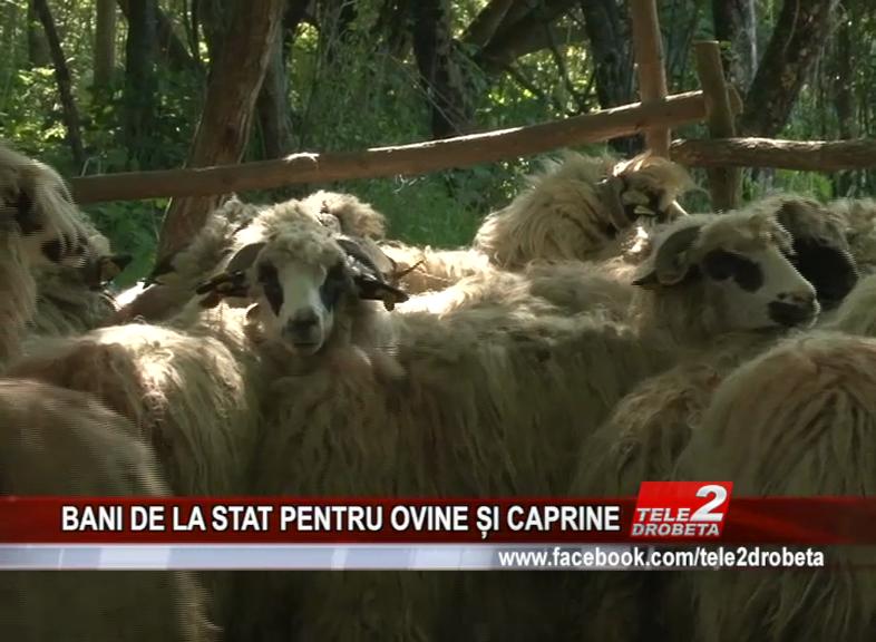 BANI DE LA STAT PENTRU OVINE ȘI CAPRINE